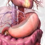 żołądek, żołądek położenie, żołądek budowa