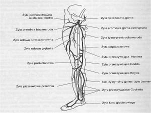 Anatomia układu żylnego kończyn dolnych