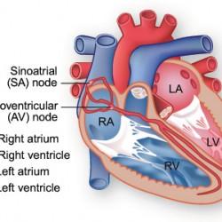Miesień przewodnictwa serca