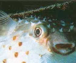 Ryba kulista