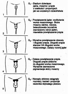 Stadia rozwoju narządów płciowych u chłopców