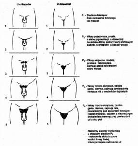 Stadia rozwoju owłosienia łonowego